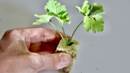 Parsley tranplanted from soil to rockwool for hydroponic garden